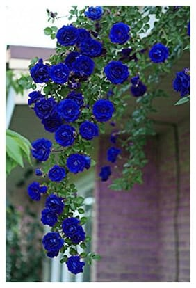 Royal Paradise Garden Blue Climbing Rose Flower Plant Seeds 20 seeds