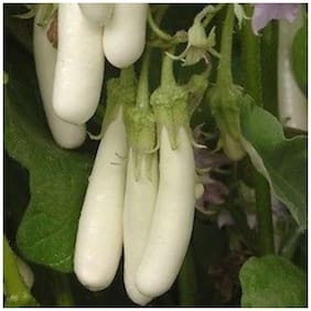 Seeds Brinjal White Long 2x Quality Seeds For Kitchen Garden - Pack of above 50 Hybrid Seeds
