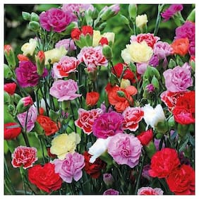 Seeds Carnation Flowers Mixed Colour Plus Quality Seeds For Home Garden - Pack of 50 Premium Seeds