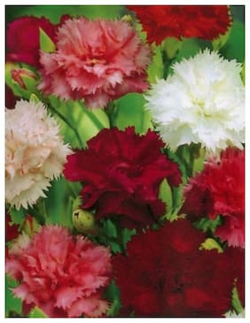 Seeds Carnation Flowers Seeds - Pack of 50 Premium Seeds