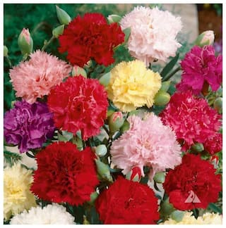 Seeds Carnation Flowers Magnif Quality Seeds - Pack of 50 Premium Seeds