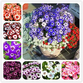 Seeds Cineraria Multi-Colour Flowers 5x Quality Seeds For Home Garden - Pack of 50 Seeds
