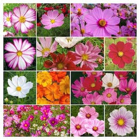 Seeds Cosmos Mixed Colour Flower - Super Seeds - Pack of 30 Seeds