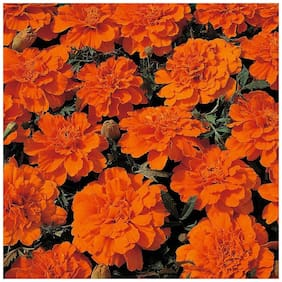 Seeds Dwarf Marigold 3x Quality Seeds For Home Garden - Pack of 50 High Germiantion Seeds