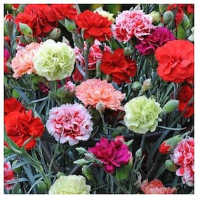 Seeds Exotic Carnation Flowers Super Seeds - Pack of 50 Premium Seeds