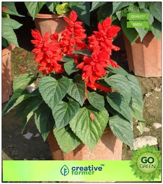 Seeds For Indian Climate Salvia Vista Red Mix Premium Kitchen Garden Plant Seeds