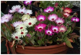 Seeds Ice Plant Mixed Colour Flowers Seeds for Home Garden - Pack of 100 Premium Seeds