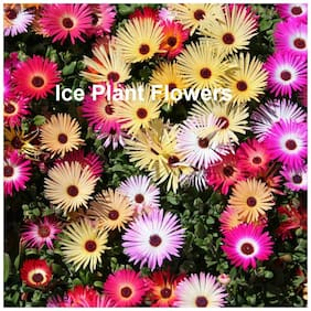 Seeds Ice Plant Multi Colour Flowers High Germination Flowers Seeds - Pack of 100 Premium Seeds
