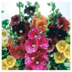 Seeds Magnif Hollyhock Multi-Colour Flowers Exotic Seeds for Home Garden - Pack of 40 Seeds