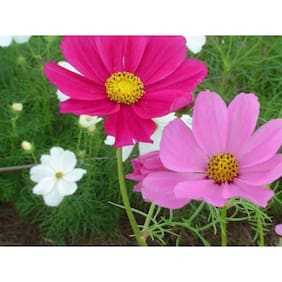 Seeds Magnifico Mixed Colour Cosmos Flower Magni Seeds For Home Garden - Pack of 30 Seeds