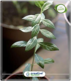 Seeds : Mehendi Plant Flowering Plant Economy Gardening Plant Seeds