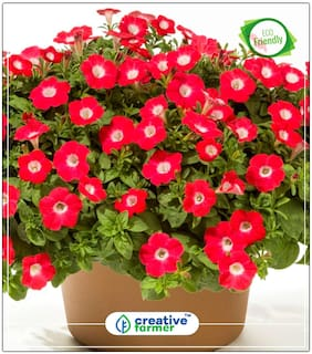Seeds : Petunia-Scarlet Red Seeds For Garden Economy Gardening Plant Seeds