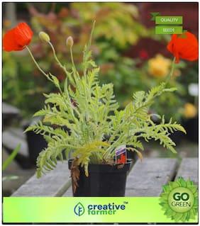 Seeds : Plant Seeds Flowers : Iceland Poppy - Kaba Premium Economy Kitchen Garden Plant Seeds