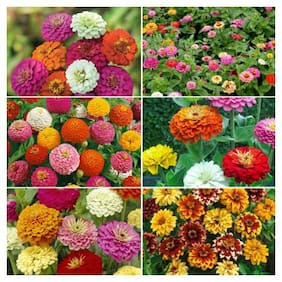 Seeds R-DRoz Zinnia Mixed Colour Flowers - 10x Quality Seeds For Home Garden - Pack of 40 High Germination Seeds