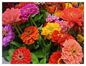 Seeds R-DRoz Zinnia Flowers - Double Quality Seeds For Home Garden - Pack of 40 High Germination Seeds