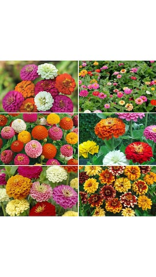 Seeds R-DRoz Zinnia Voilacea Mixed Colour Flowers - 10x Quality Seeds For Home Garden - Pack of 40 High Germination Seeds