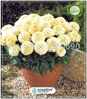 Seeds : Tagetes White Gardening Seeds For Garden Economy Gardening Plant Seeds