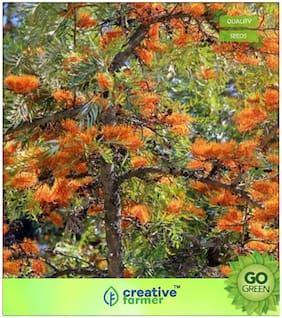 Seeds : Tree Seeds : Grevillea Robusta Silkoak Tree Premium Economy Kitchen Garden Plant Seeds