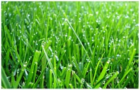 Seeds Turf Grass - Refined Seeds - Pack of 5000 Seeds