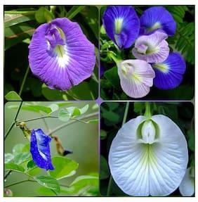 SHANKHPUSHPI / APARAJITHA / SANGU POO / CLITORIA TERNATEA / BUTTERFLY PEA MIXED FLOWER SEEDS - PACK OF 15 SEEDS