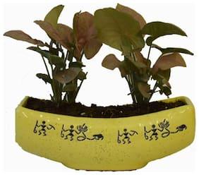 Sheel Greens Pink Syngonium Plant