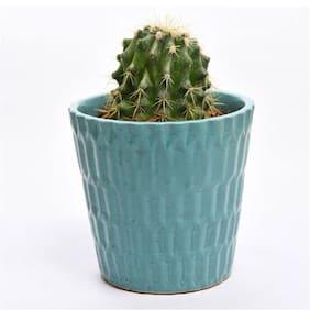 Sheel Greens Cactus smarty blueish