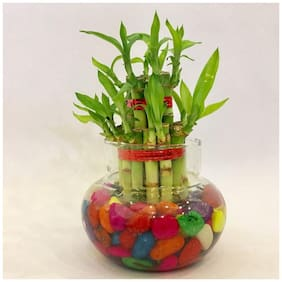 Sheel Greens Lucky Bamboo 2 Layer With Glass Matki
