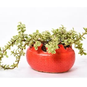 Sheel Greens Jade Plant with Red Feel