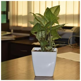 Sheel Greens Syngonium Plant