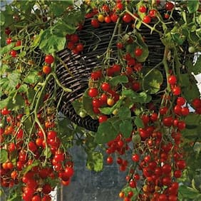 Small Cherry Tomato Seeds by National Gardens