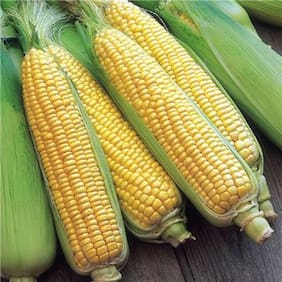 Sweet Corn-Pack of 20