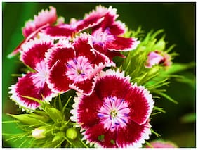 Sweet William Flower Seeds (Mixed Colors) | 200 seeds | Pack of 2