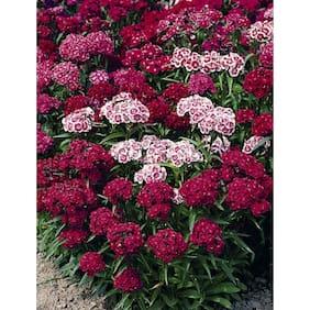 Sweet William Flower Super Advanced Seeds