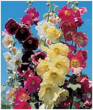 Tall Giant DANISH HOLLYHOCK Mix Colour Flower Seeds Sold By- V Square Retail