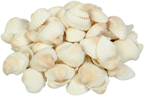 Vardhman Sea Shells White Big Size, 500 Gm Pack of 45 pcs, Size 4 cm, Used in Aquariums, Art and Crafts, Decorations, Table Decoration