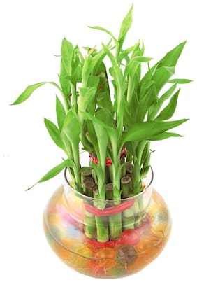 Vishnature 2 Layer Lucky Bamboo Plant In Square Glass Vase/Bamboo/Luckuy/Gifting/Attractive/Decorative