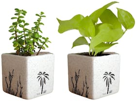 VishNature Combo Jade & Money Plant In Ceramic coco Pot/Best For Gift/Birthday/Occasion/Rakhi