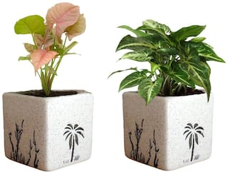 VishNature Combo of Pink Syngonium & Green Syngonium In Coco Ceramic Pot/Gift/Plant/Live/Plant/Natural Palnts