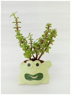VishNature Jade Plant In Green Ceramic Smiley Planter/Ferns/Indoor Plant/Outdoor Plant/Anniversary/Occasion
