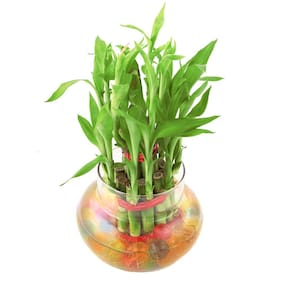 VishNature Two Layer Lucky Bamboo Plant In Round Matki Glass vase/Best for Gift/Anniversary/Birthday Any Speical Occasion