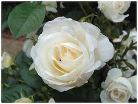 White Rose Fresh Exotic Flower Seeds Sold By- V Square Retail
