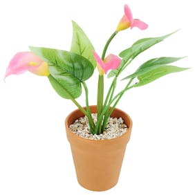 Wonderland Calla Lily with Plastic pot