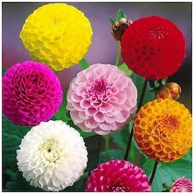 Zinnia Mix Flower Seeds