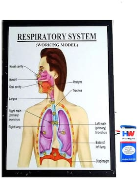 Melody's Respiratory System Working Model Science Project